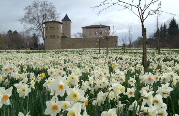 Le château sur sa mer de jonquilles au printemps © Château St Bernard