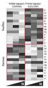 Figure 2 : Carte de chaleur représentant la concentration des différents éléments minéraux dans les feuilles et racines de deux combinaisons porte-greffe/greffon de faible et forte vigueur, en réponse a la fertilisation en azote. Plus la concentration est élevée, plus la couleur est sombre.