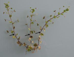 Figure 1 : Fleurs solitaires ou inflorescences ? Dans le cas de Veronica persica les ouvrages francophones parlent généralement de fleurs solitaires, l'interprétation allemande montre qu'il s'agitd'inflorescences (dont la base est pointée par les flèches) où les bractées ont la même morphologie que les feuilles, seule diffère la phyllotaxie (opposées dans la partie végétative, alterne dans l'inflorescence).