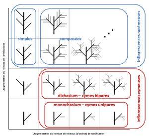 Figure 3 : Les grandes catégories d'inflorescences en fonction du nombre de ramification et du nombre d'ordres de ramification. Sur cette figure, pour des raisons pratiques, les bractées et bractéoles ne sont pas schématisées, les entre-nœuds sont tous développés et les modes de ramification ne varient pas entre deux niveaux de ramification.