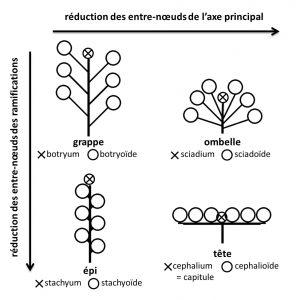 Figure 4 : Les quatre grands types d'inflorescences racémeuses simples en fonction de la réduction des entre-nœuds de l'axe principal et des ramifications. Selon que le méristème terminal de l'axe principal donne une fleur (schématisée par un cercle) ou pas (schématisé par une croix) on peut distinguer 8 sous-types.