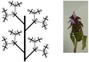 Figure 6 : A gauche, représentation schématique d'un thyrse, où tous les axes sont longs. A droite, thyrse de Lamium purpureum dont les axes sont très contractés et les bractées (de l'axe principal) très développées.