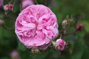 Fleur de Rosa x-centifolia © D.R.