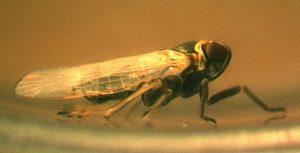 Le dépérissement de la lavande est une maladie à phytoplasme transmise par la cicadelle. Ici, adulte de Hyalesthes obsoletus - © Jonathan Gaudin