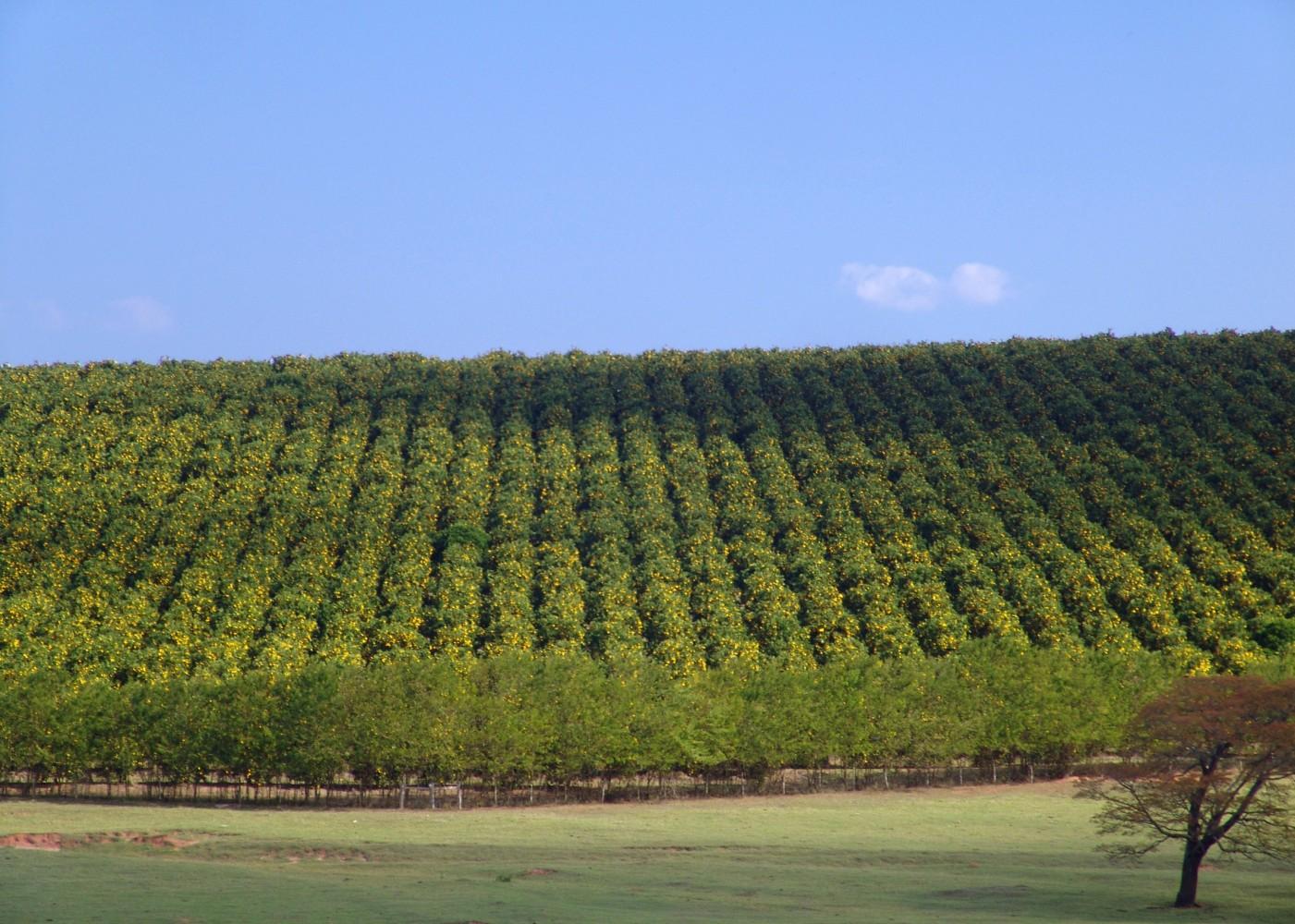 Une culture d'orangers au Brésil, premier producteur mondial d'huiles essentielles - © D.R.