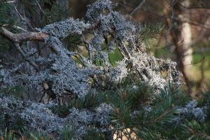 L'emploi du lichen en parfumerie remonte au XVe siècle - © IFF