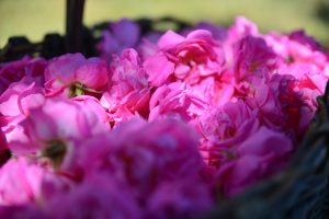 Rosa centifolia - © Domaine de Manon
