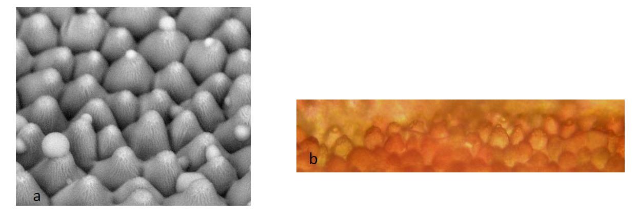 FIG. 3 : EPIDERME SUPERIEUR DES PETALES DE ROSE a, micrographie électronique environnementale de l'épiderme supérieur montrant des gouttelettes de sécrétion ; b, vue paradermale des cellules coniques de l'épiderme supérieur