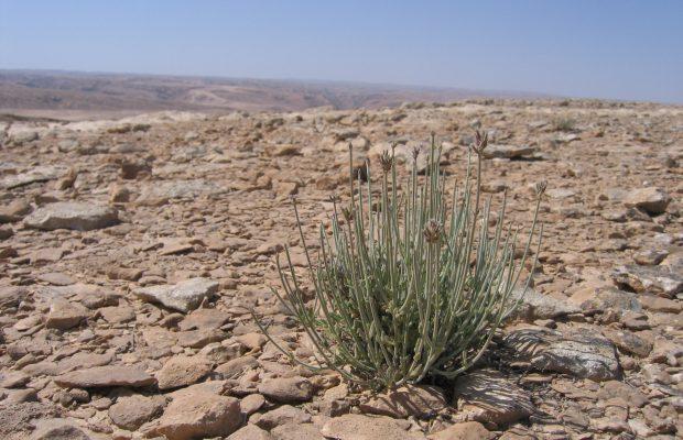 Lavandula dhofarensis A.G. Mill. subsp. ayunensis A.G. Mill. (Oman) - © B PASQUIER - CNPMAI