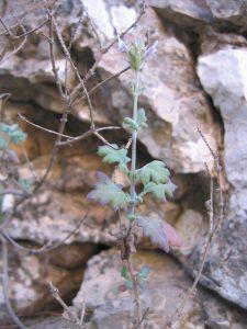 Lavandula samhanensis Upson & S. Andrews (Oman) - © B PASQUIER - CNPMAI