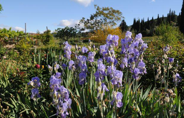 L'iris fait partie des plantes traitées à Grasse - © D.R.