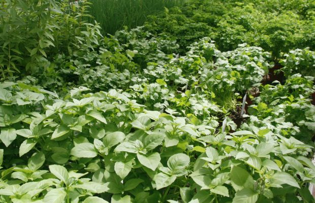 Les plantes aromatiques peuvent contenir des substances toxiques © J.-F. Coffin