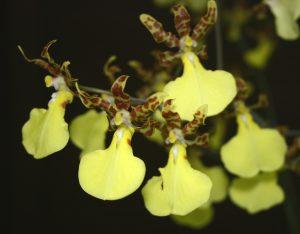 Oncidium hybride type 'Pluie d'Or' - © P. Lemettais