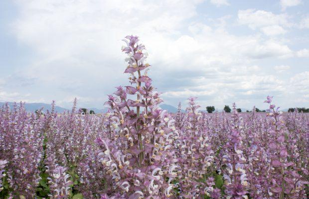 La sauge sclarée, une plante cultivée depuis des siècles - © Bontoux SAS