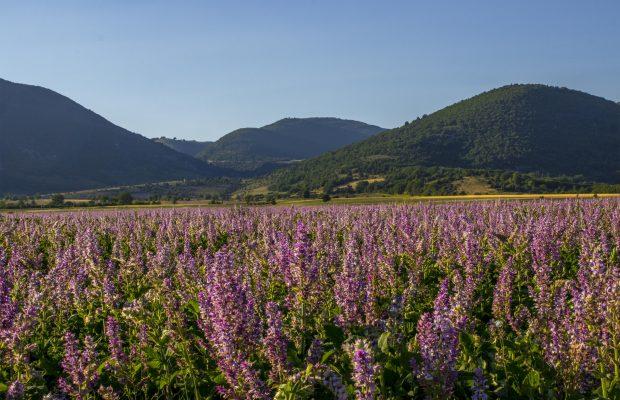 La sauge sclarée est principalement cultivée en Provence - © Bontoux SAS