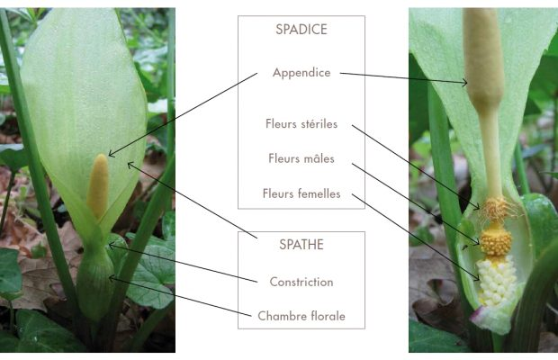 Arum italicum : les différentes pièces florales
