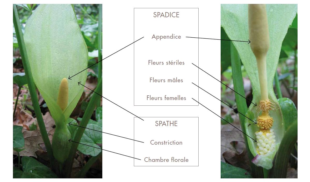 la pollinisation des aracées (2e partie) : des « histoires » d