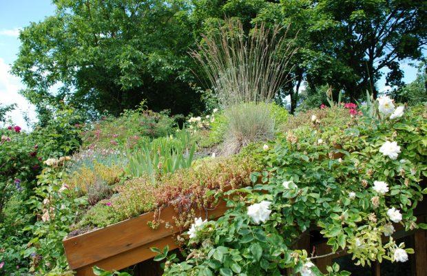 André Eve a toujours associé les rosiers à des vivaces comme, ici, sur la toiture végétalisée de son célèbre cabanon - © G. Carcassès