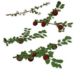 Quelques aperçus du modèle visuel du développement de la charpentière du pommier, montrant la floraison et le développement des fruits. Le modèle dynamique et disponible à https://www.youtube.com/watch?v=PNUdLlA3jFw (travail par Florian VILLARD, étudiant en horticulture, niveau M1, Agrocampus Ouest Angers, juillet 2013) - © D.R.