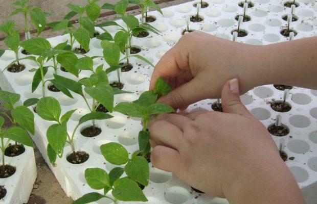 Greffage de plants de poivrons - © D.R.