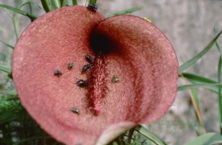 Helicodiceros muscivorus, l'Arum mange-mouches : Mouches calliphoridae dupées marchant sur la spathe à la recherche du cadavre… - © M. Gibernau
