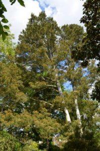 Pinus bungeana - © D.R.