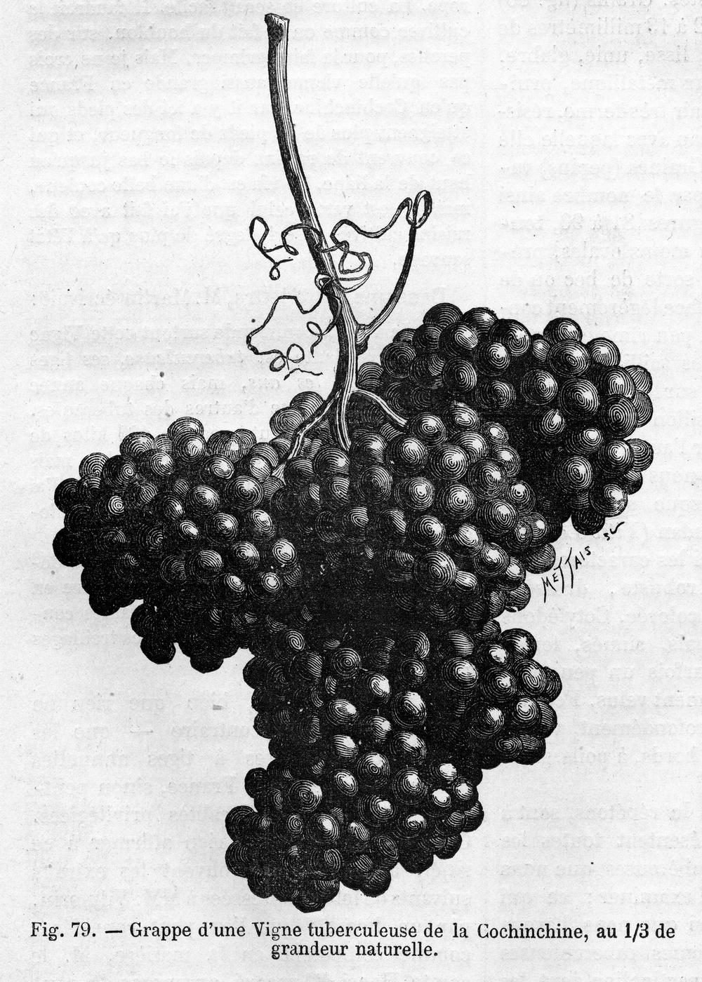 RH 1883 Vigne tuberculeuse de Cochinchine