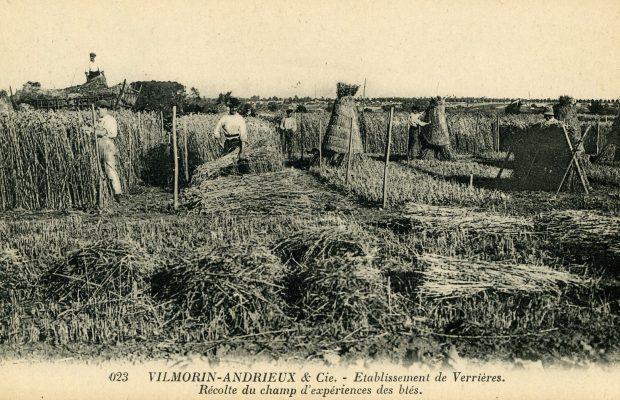 Essais de blé chez Vilmorin-Andrieux : Henry crée de nouvelles variétés à partir de fécondations croisées - © D.R.