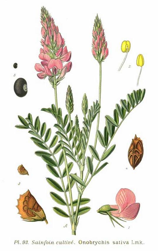 Le sainfoin, une des plantes cultivées par Philippe André de Vilmorin - © D.R.