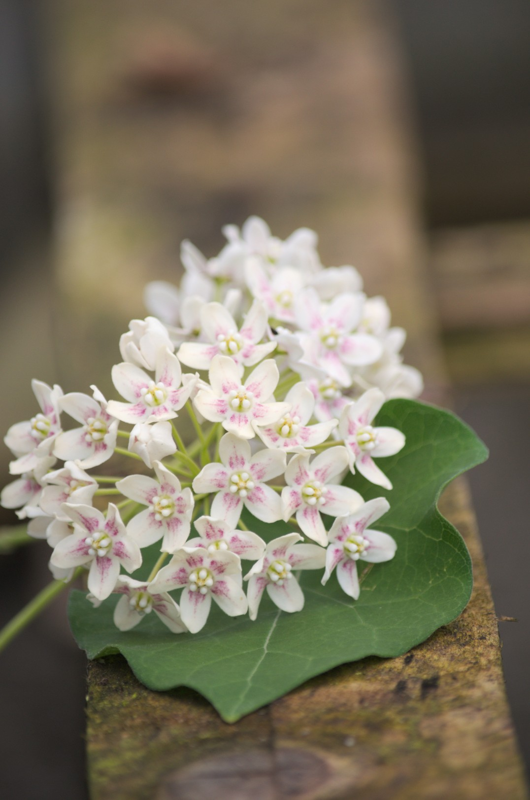 Wattakaka sinensis - ©Pépinières Travers - www.clematite.net a reçu en 2009, le Mérite de Courson lors des journées des plantes.