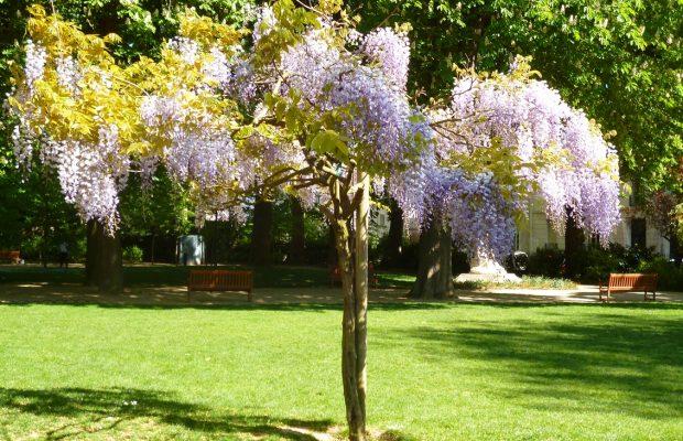 Glycine en arbre-Jardin Mirabeau