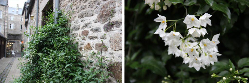 Solanum jasminoides, intéressant par son feuillage et sa floraison - © A. Cadic