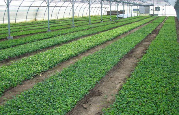 La plantation des boutures se fait en pépinière de pleine terre, en planches, dans une terre ferilisée - © Javoy