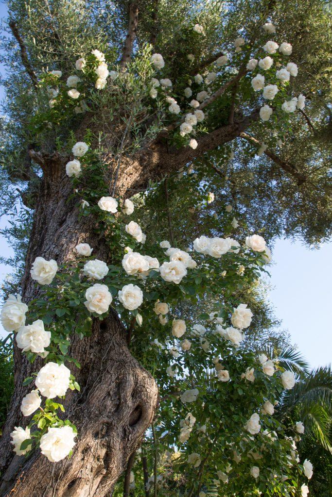 Une variété récente de rosier liane : Looping® ('Meibeljenb') de Meilland - © D.R.