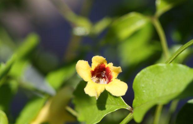 Pandorea pandorana (Bignoniaceae), délicate liane indigène des forêts humides de Nouvelle-Calédonie – © J-P Rossignol