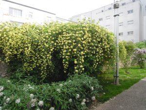 Rosa 'Banksiae' éclate tout début mai en une profusion de fleurs jaune soufré - © Sophie Rouleau