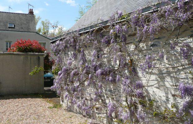 Les glycines conviennent parfaitement pour l'habillage des murs de façade des maisons - © N. Dorion