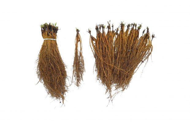 Une belle clématite est une plante qui présente des racines pleines de réserves - © Javoy