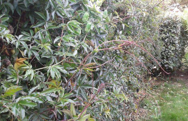 La vrille peut s'enrouler de plusieurs tours autour du support en une heure. Chez Passiflora caerulea, elle peut aussi s'enrouler sur elle-même - N. Dorion