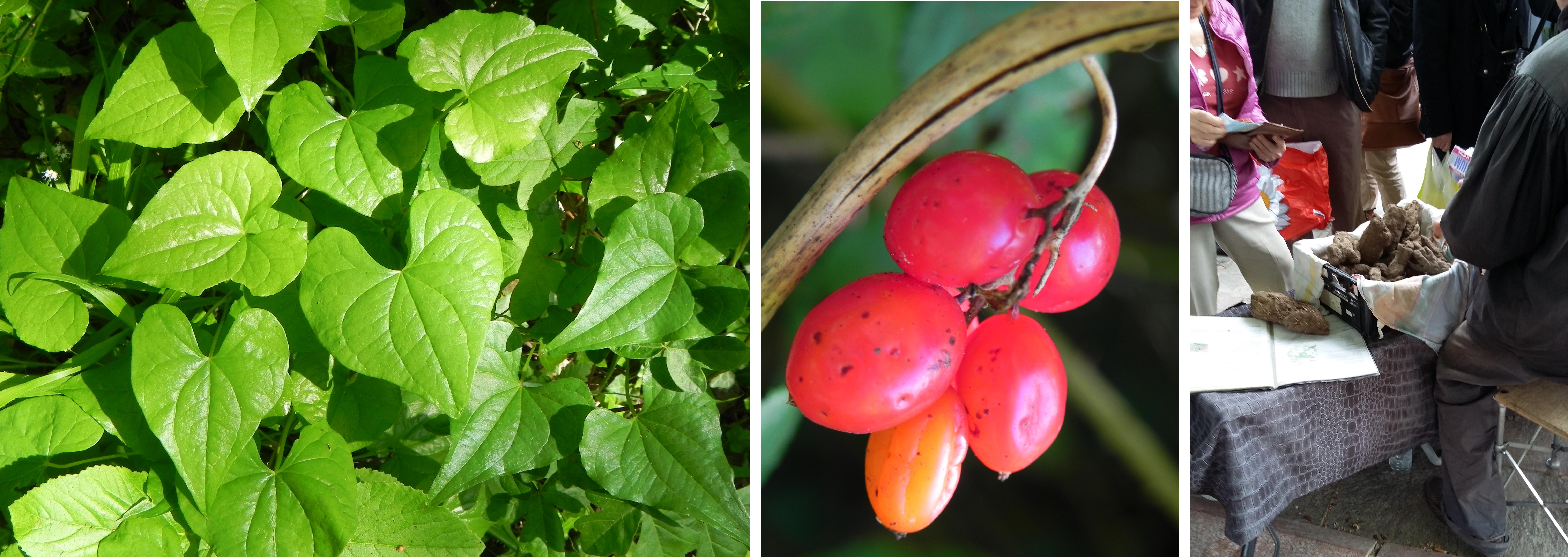 Dioscorea communis, le tamier