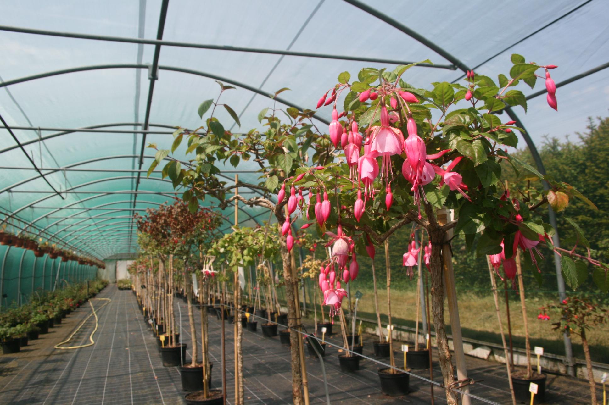 La conservation des fuchsias durant l hiver jardins de france - Fushia plante entretien ...