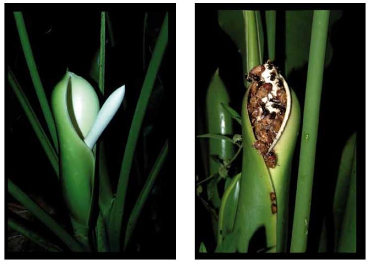 Figure 2. INFLORESCENCE DE PHILODANDRON (p. solimoesense) dont le spadice THERMOGÉNIQUE AU CONTACT DE LA SPATHE (1er soir) LAISSE UNE TRACE DE BRÛLURE (2e soir).