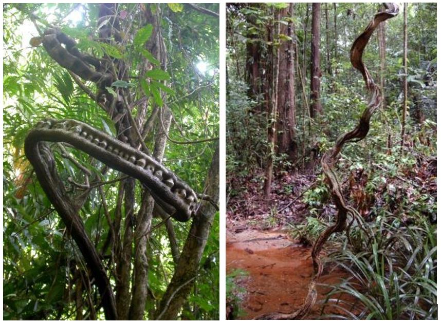 La liane Bauhinia guianensis de la forêt humide de Guyane. La tige enroulée dans le vide évoque le fantôme de l'arbre support aujourd'hui disparu – © D.R.