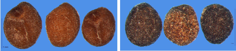 Semences de Cuscuta campestris (à gauche) et de Cuscuta europaea