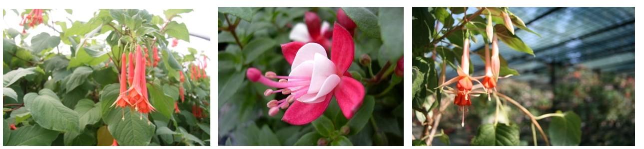 Selon les variétés, les fuchsias sont plus ou moins rustiques - © N. Dorion et J.-F. Coffin