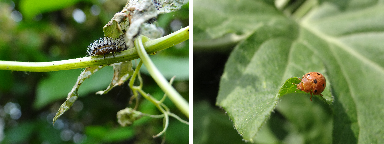 Larve et adulte de coccinelle de la bryone - © G. Carcassès