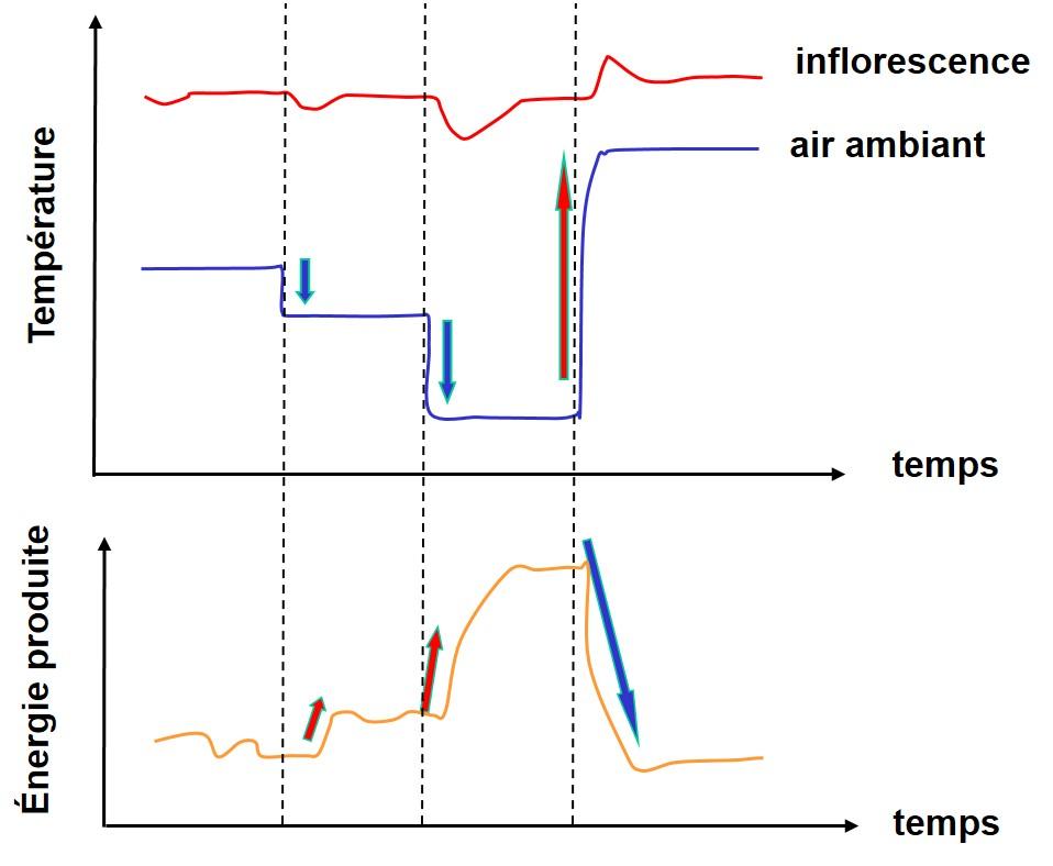 Figure 4. LA THERMORÉGU LATION. L'INFLORESCENCE AJUSTE SA TEMPÉRATURE POUR LA GARDER PLUS OU MOINS CONSTANTE (EN HAUT) MALGRÉ LES VARIATIONS IMPORTANTES DE LA TEMPÉRATURE AMBIANTE (AU MILIEU). CETTE RÉGU LATION EST ASSURÉE PAR UN AJUSTEMENT DYNAMIQUE DE L'ÉNERGIE PRODUITE PAR L'INFLORESCENCE INVERSE AUX VARIATIONS DE LA TEMPÉRATURE AMBIANTE (EN BAS).