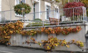 La vigne de Coignet s'étend rapidement et offre de chatoyantes couleurs à l'automne © S. Rouleau