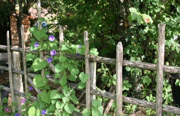 Les grimpantes annuelles peuvent être du plus bel effet, comme cette « ipomée » garnissant une clôture rustique - © J.-F. C.