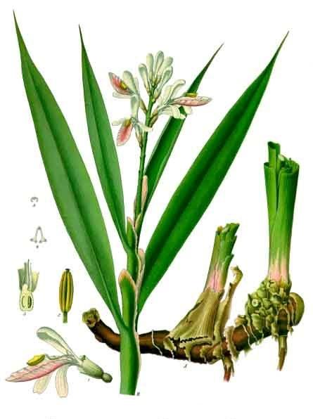 Alpinia officinarum © D.R.
